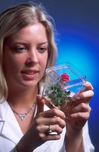 A rose grown from a tissue culture. We we all have to live in glass domes someday?