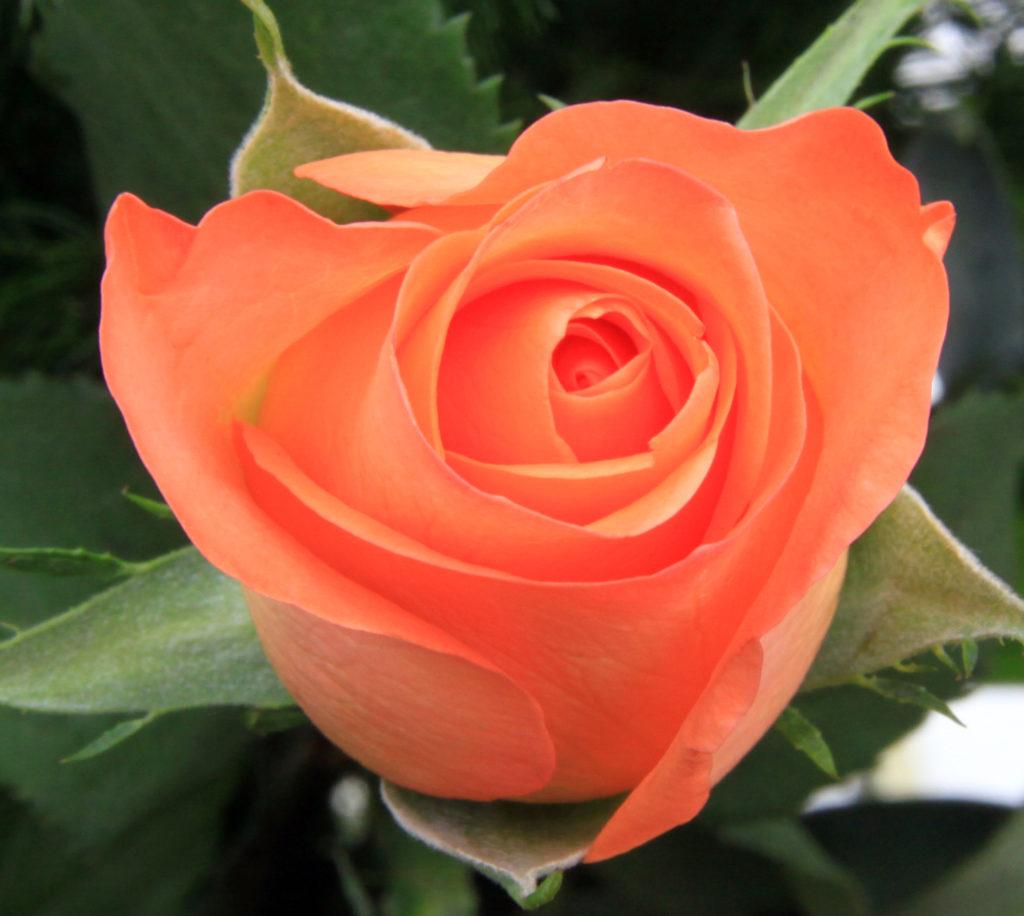 Peach_Rose_1_(3351774506)